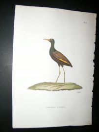 Shaw C1800's Antique Hand Col Bird Print. Common Jacana